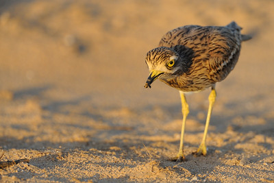 Stone-Curlew &  Ant