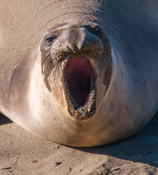 Elephant Seals_San Simeon-7.jpg