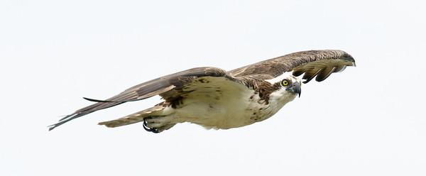 Ospreys always seem to be on the go.