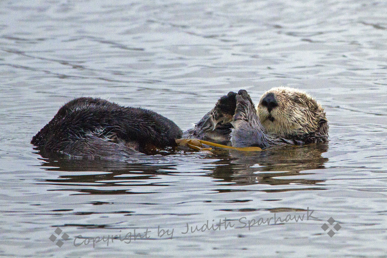 Sea Otter Clapping