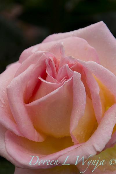 Rose_8373.jpg