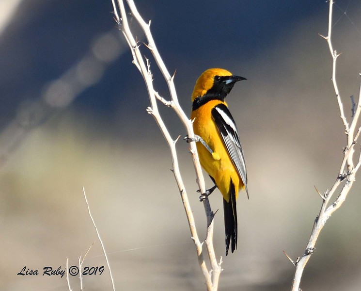 Hooded Oriole  - 4/13/2019 - Agua Caliente County Park Campground