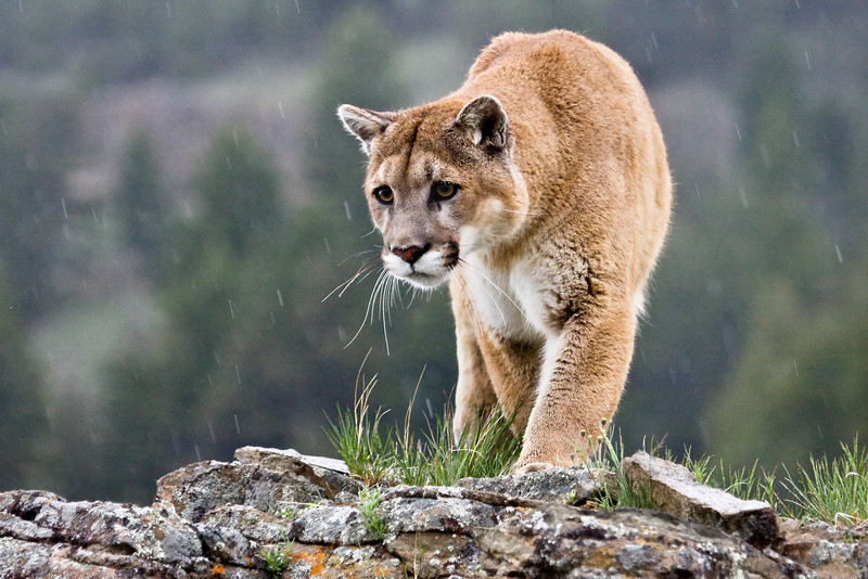 One VERY focussed cougar