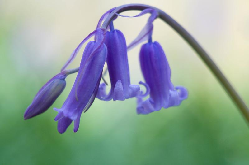 Bluebell flower, Hallerbos, Belgium