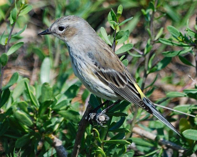 Yellow-rumped Warbler - Suder Park, Corpus Christi