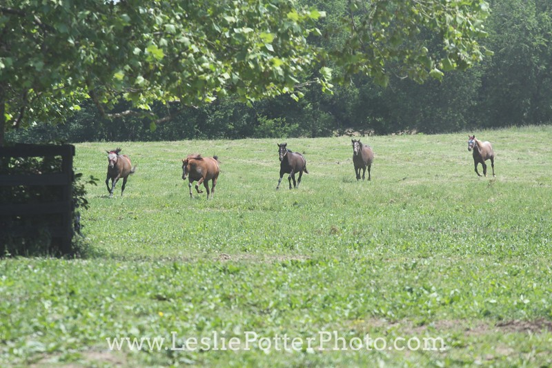 Herd of Horses Running in the Pasture