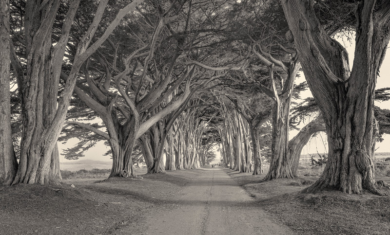 Cypress Tree Tunnel. Point Reyes.