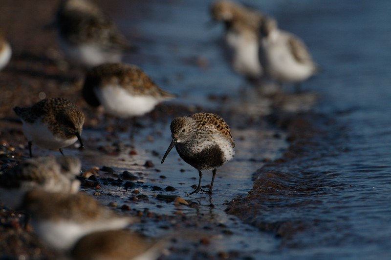 Dunlin are fairly common migrants to the shores of Lake Superior in May. They are on their way to their tundra nesting grounds [May; Park Point, Duluth, Minnesota]