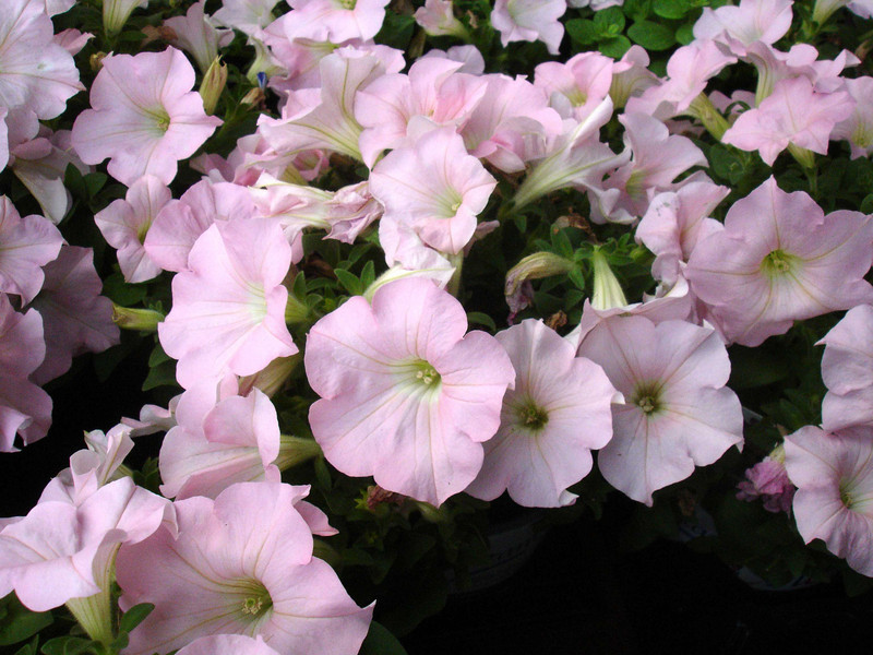These petunias have a soft pastel pink color that is rarely duplicated.
