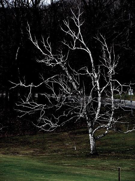 Dec 3rd white birch.JPG