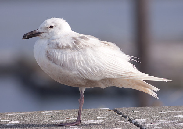 Glaucous-winged Gull Larus glaucescens