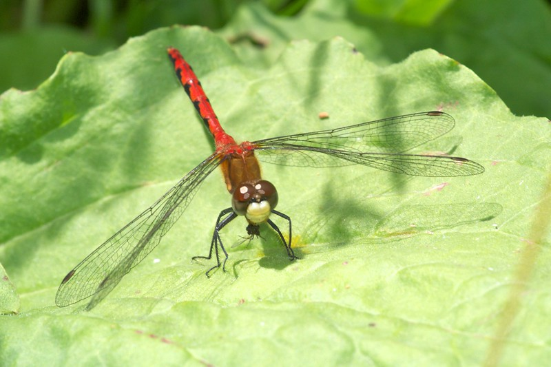 Male White-faced Meadowhawk (Sympetrum obtrusum) [July 14; Moosehorn River, Carlton County, Minnesota]