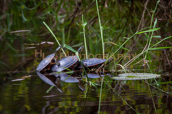 05/14/19 Painted Turtles in Cataldo, Idaho