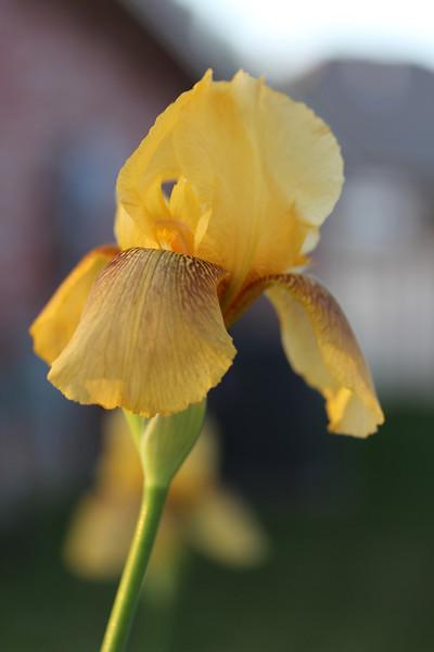 4.14.13 First Iris of the Season