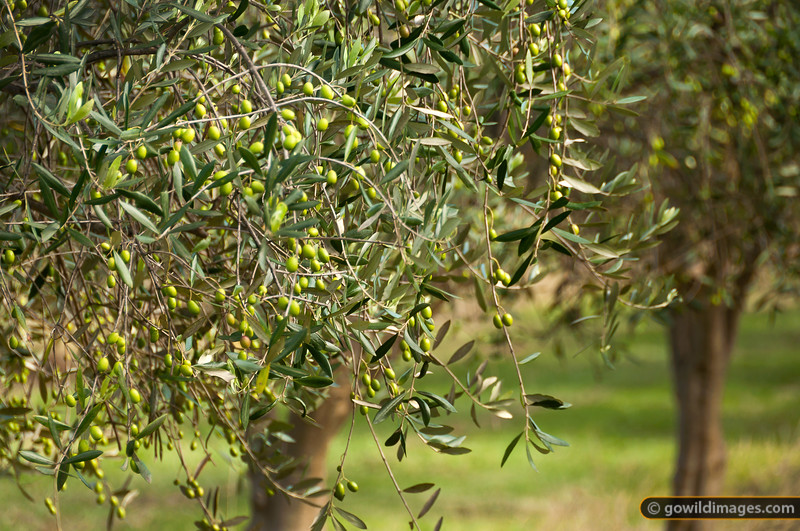 Young green olives