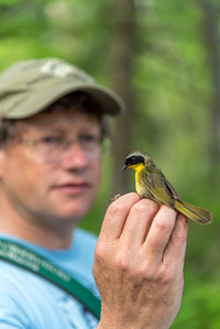 Chip Darmstadt readies to release a bird after tagging at North Branch Nature Center