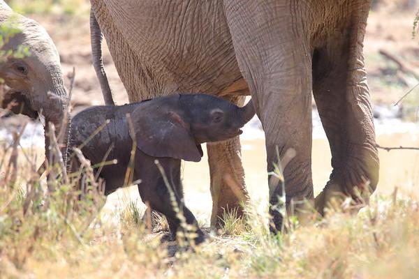 Tiny Elephant Loisaba Kenya 2018