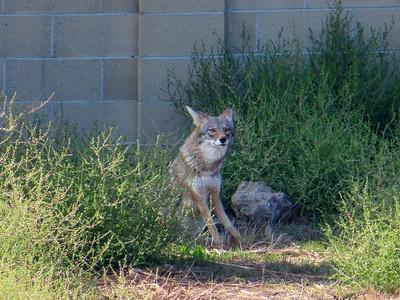 Coyotes October 23 2018