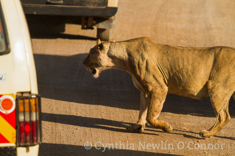 Cat Fight and More - 9 - Lioness Rescues .JPG