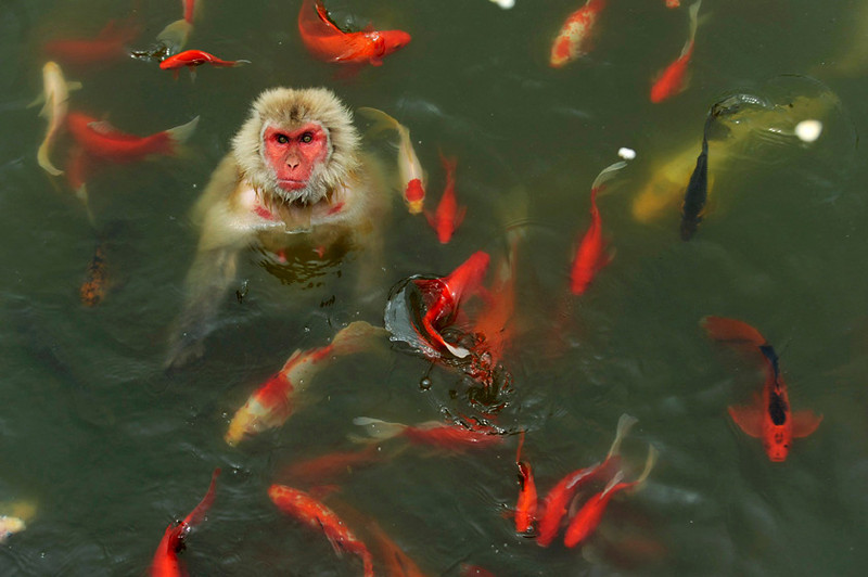 . A monkey in a carp pond, Hefei, Anhui province, China, July 16, 2013. REUTERS