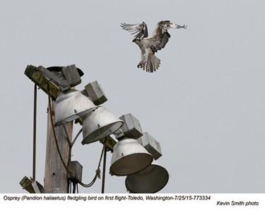 Osprey J73334.jpg