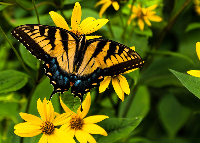 Swallowtail butterfly on yellow flowers in Shenandoah National Park, Virginia