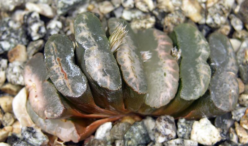 Haworthia truncata ex Lombard #3
