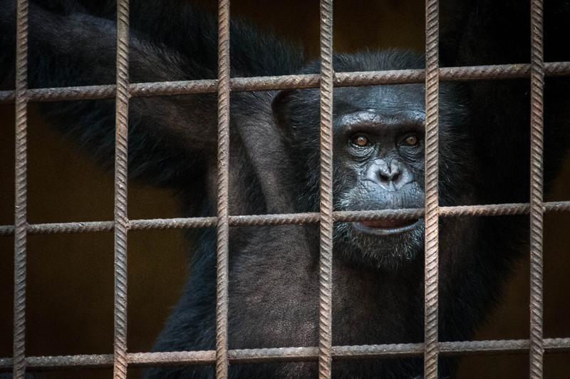 Chimp sanctuary in Freetown, Sierra Leone