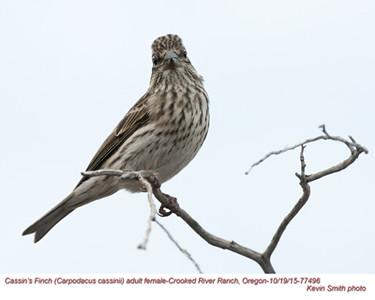 Cassin's Finch F77496.jpg