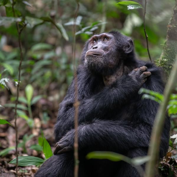 Uganda_T_Chimps-506.jpg