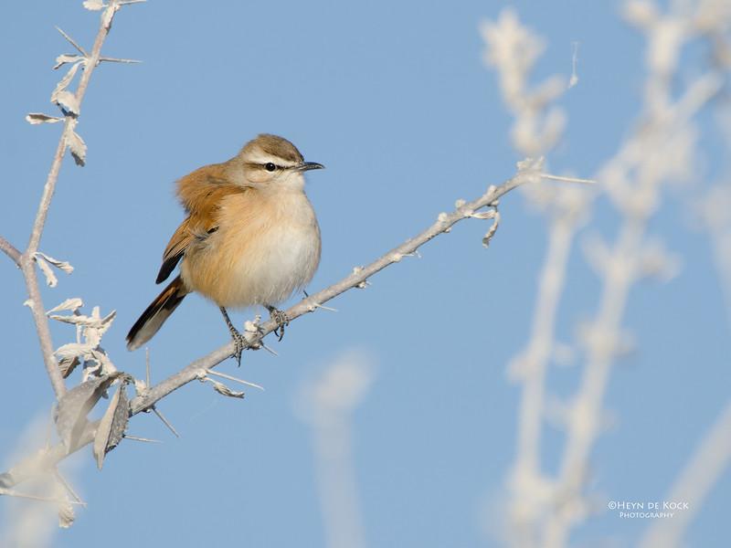 Kalahari Scrub Robin, Etosha NP, Namibia, July 2011.jpg