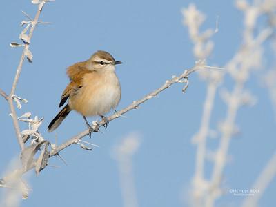 Kalahari Scrub Robin (Cercotrichas paena)