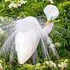 Great Egret - Orlando, FL - May 2014