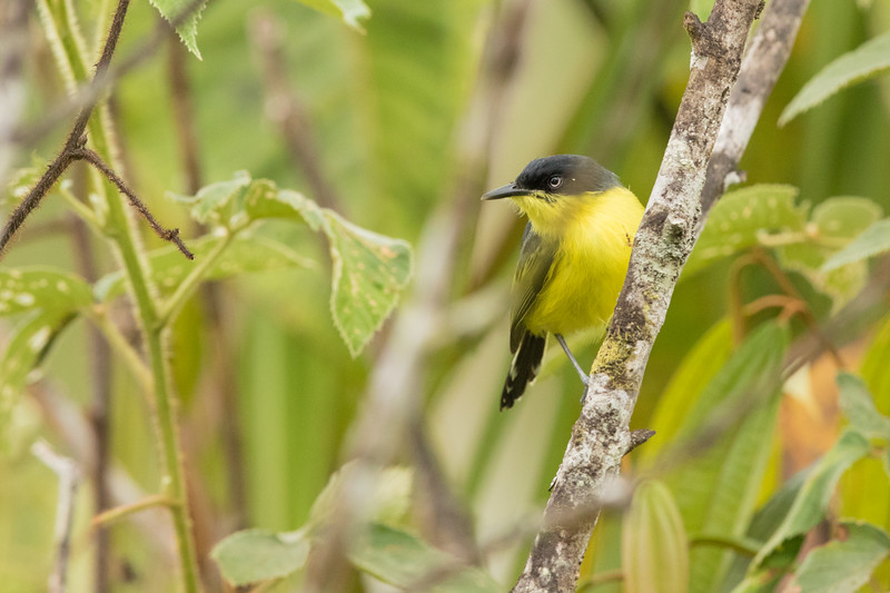 Common Tody-Flycatcher - Record - Sumaco, Ecuador