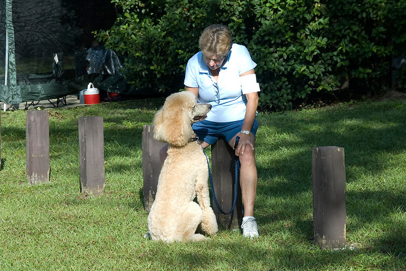 This Standard Poodle and handler await their turn in the obedience ring.