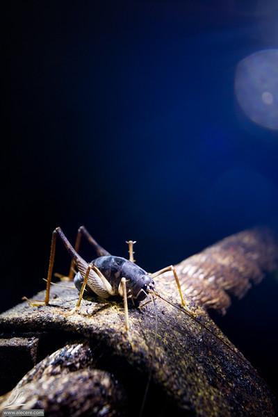 Cricket in the dark