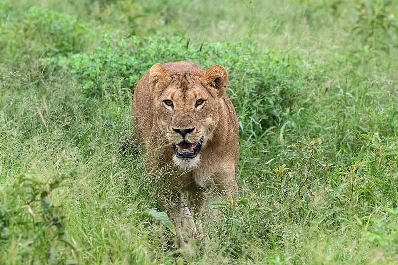 Lioness 1702248187.jpg