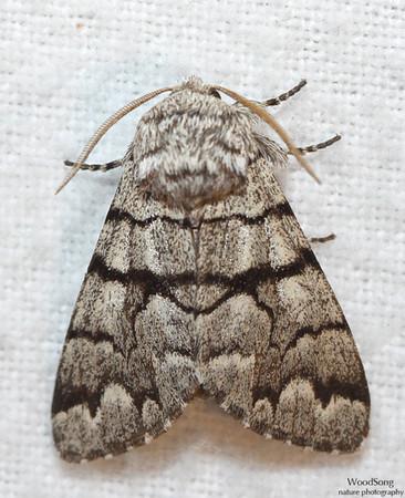 Subfamily Pantheinae