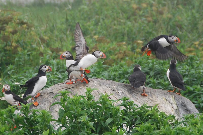 Machias Seal Island Trip - 074