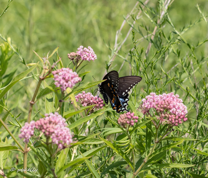 blk Swallowtail 080319.jpg