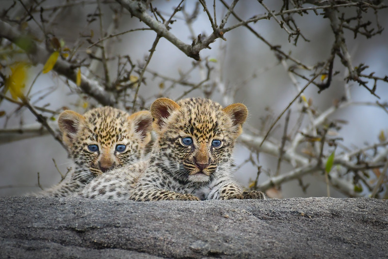 Leopard Siblings