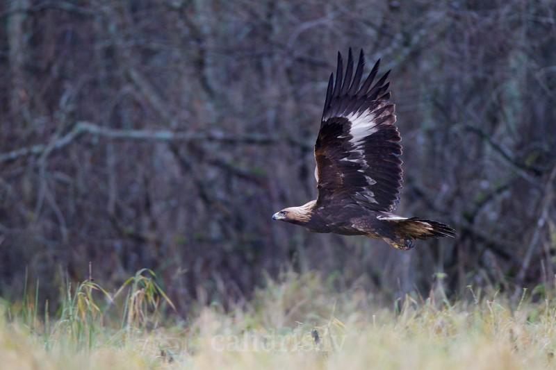 Golden eagle in flight / Klinšu ērglis lidojumā