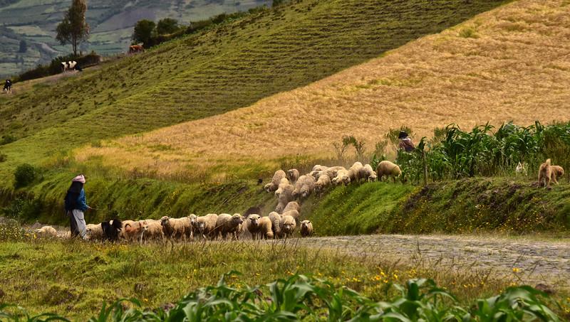 ECQ_0030-Hearding Sheep.jpg