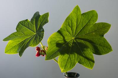 Podyphyllum 5.3.18