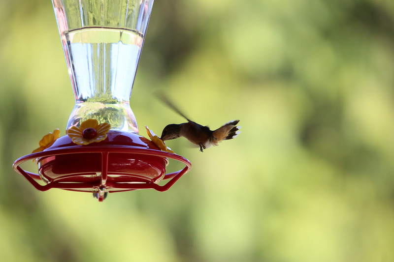 humming bird (25 of 55).jpg