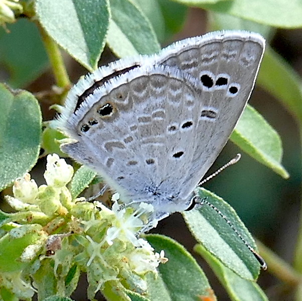 H04360  P177EchinargusIsola-Reakirt'sBlue293 Oct. 4, 2018  10:19 a.m.  P1770293 Here is a nice Reakirt's Blue butterfly, Echinargus isola, hanging around a patch of crotons on the trail by the powerline at LBJ WC.   Lycaenid.