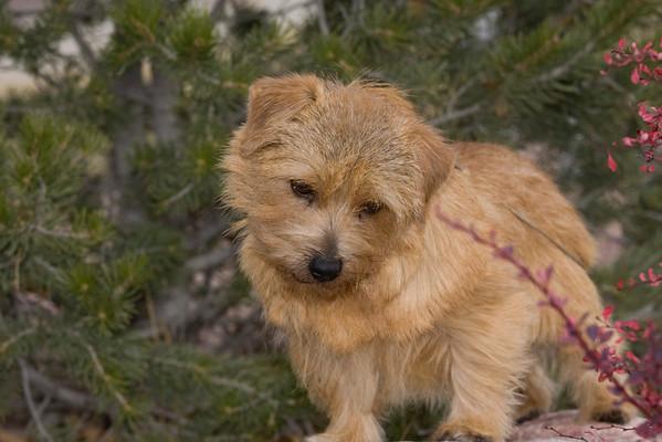 Norfolk Terrier LD