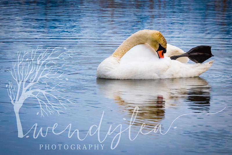 wlc Swans 03241735March 24, 2017.jpg