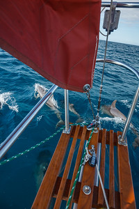 Dolphins playing in the bow wave off of South Carolina.  The one calf of the group is above the left side of my bowsprit platform.
