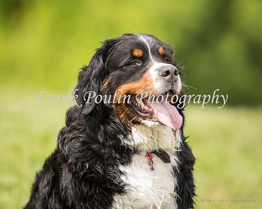 Bernese Mountain Dog Picnic 7/29/2017